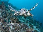 swimming-turtle